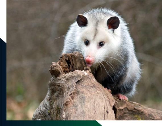 Expert Possum Removal Adelaide