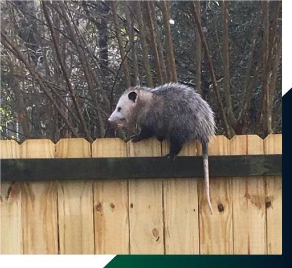 Possum Removal Adelaide